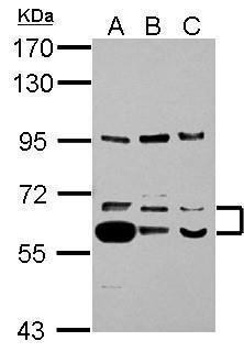 TrxR1 Antibody (PA5-27861) in Western Blot