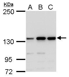 MSH3 Antibody (PA5-27864)