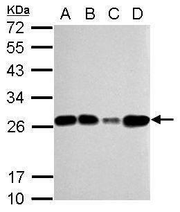 TFAM Antibody (PA5-27865) in Western Blot