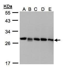 D4-GDI Antibody (PA5-27873)