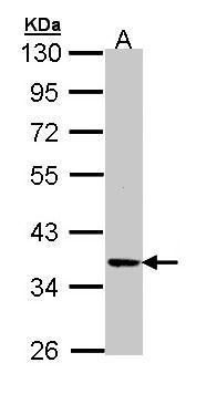 PRKX Antibody (PA5-27913) in Western Blot