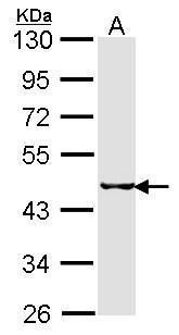 SEPHS2 Antibody (PA5-27950) in Western Blot