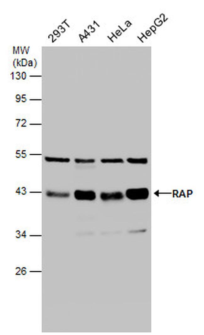 RAP Antibody (PA5-27986)