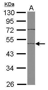 EDIL3 Antibody (PA5-27994) in Western Blot
