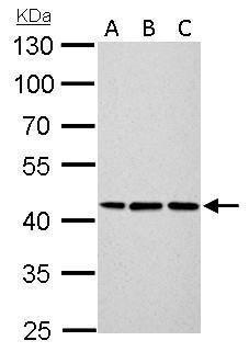 Cytokeratin 14 Antibody (PA5-28002) in Western Blot