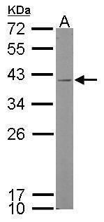 Kallikrein 11 Antibody (PA5-28008) in Western Blot