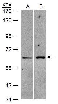 ZSCAN5 Antibody (PA5-28011) in Western Blot