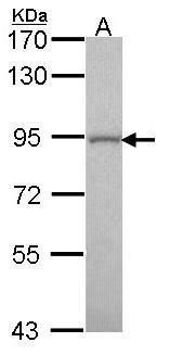 GOLGA5 Antibody (PA5-28014) in Western Blot