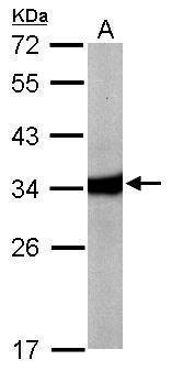 HAAO Antibody (PA5-28035) in Western Blot