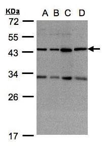 DNAJC17 Antibody (PA5-28045) in Western Blot