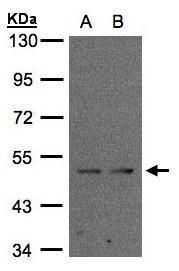 IFRD1 Antibody (PA5-28060) in Western Blot