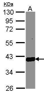 AKR1C3 Antibody (PA5-28065) in Western Blot