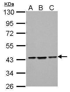 Bif1 Antibody (PA5-28068) in Western Blot