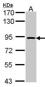ORC3 Antibody (PA5-28083) in Western Blot