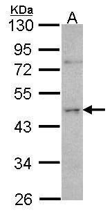 ORC4 Antibody (PA5-28084) in Western Blot