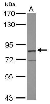 RASGRP3 Antibody (PA5-28091) in Western Blot