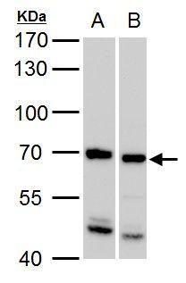 SSX2IP Antibody (PA5-28108)