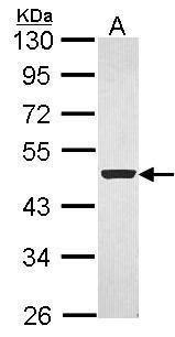 Flotillin 1 Antibody (PA5-28118) in Western Blot