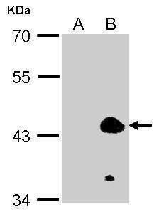 KLF1 Antibody (PA5-28132) in Western Blot