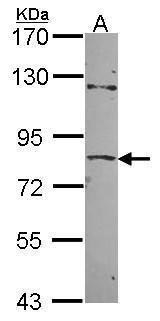 ZNF148 Antibody (PA5-28147) in Western Blot