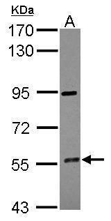 CYP4F12 Antibody (PA5-28163)