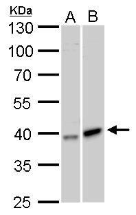 GALK1 Antibody (PA5-28176)