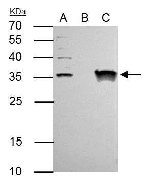 GTF2E2 Antibody (PA5-28177) in Immunoprecipitation