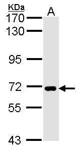 SLC20A1 Antibody (PA5-28182) in Western Blot