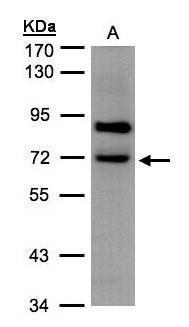SLC20A2 Antibody (PA5-28184)