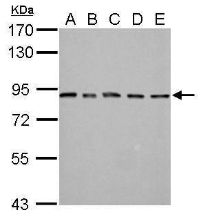 MAD1 Antibody (PA5-28185) in Western Blot