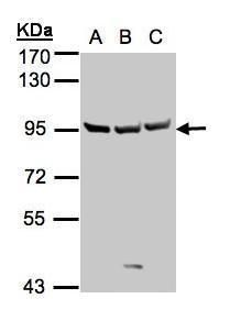 SEMA6A Antibody (PA5-28187) in Western Blot
