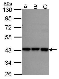 RFC2 Antibody (PA5-28189) in Western Blot