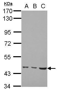 MMP19 Antibody (PA5-28213) in Western Blot