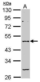 GABRA2 Antibody (PA5-28222)