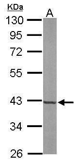 FDPS Antibody (PA5-28228) in Western Blot