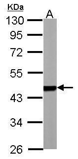 PSMC5 Antibody (PA5-28234) in Western Blot