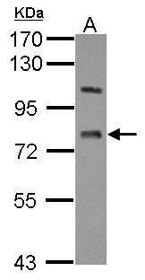 LSS Antibody (PA5-28238) in Western Blot