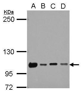 NKRF Antibody (PA5-28242)