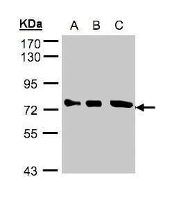 Optineurin Antibody (PA5-28249) in Western Blot