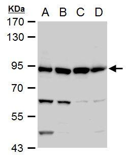GSPT1 Antibody (PA5-28256) in Western Blot