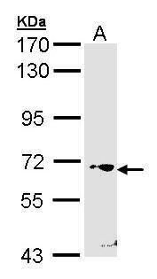 RORC Antibody (PA5-28257) in Western Blot