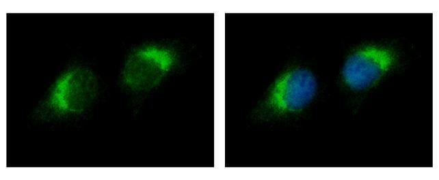 RNase1 Antibody (PA5-28278) in Immunofluorescence