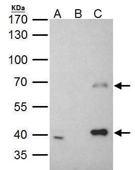 MSL3 Antibody (PA5-28282) in Immunoprecipitation