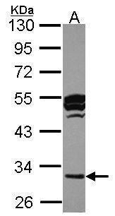 Cathepsin O Antibody (PA5-28285) in Western Blot