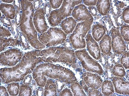 HAGH Antibody (PA5-28292) in Immunohistochemistry (Paraffin)