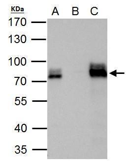 DRIL1 Antibody (PA5-28294) in Immunoprecipitation
