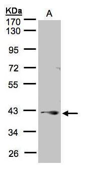 PPP2R4 Antibody (PA5-28296) in Western Blot