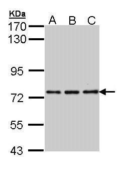NPAS2 Antibody (PA5-28298) in Western Blot