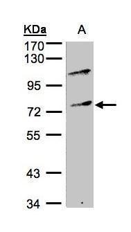 MZF1 Antibody (PA5-28319) in Western Blot