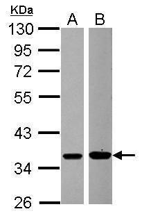 MEK6 Antibody (PA5-28327)